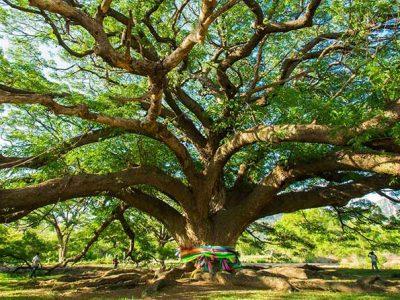 Grote Wensboom 1000